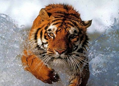 Animaux tiger in water400x290