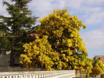 Mimosa mars 2010
